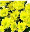 Marg hol radost yellow - MHRADSUN1