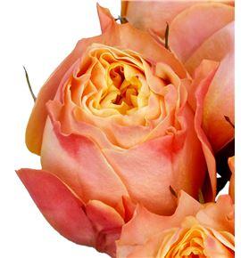 Rosa hol imagine 50 - RGRIMA