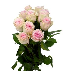 Rosa hol. duchesse 40 - RGRDUC