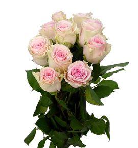 Rosa hol. duchesse 50 - RGRDUC