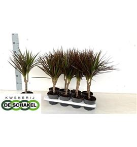 Pl. dracaena magenta 55cm x8 - DRAMAG81355