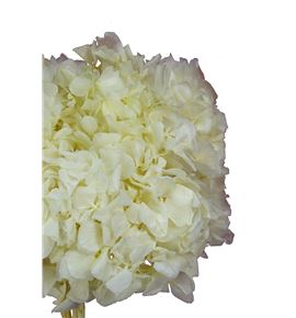 Hortensia preservada blanca - HORPREBLA