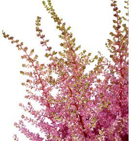 Astilbe earth light pink 60 - ASTEARLIGPIN