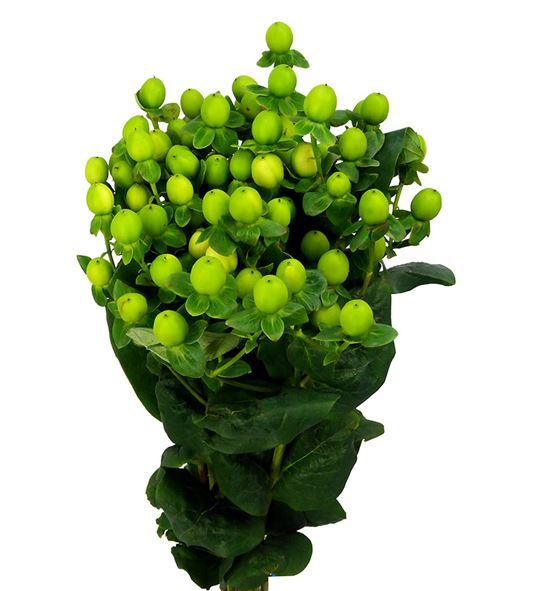 Hypericum coco olivo 50 - HYPCOCOLI