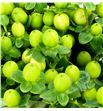 Hypericum coco olivo 50 - HYPCOCOLI1