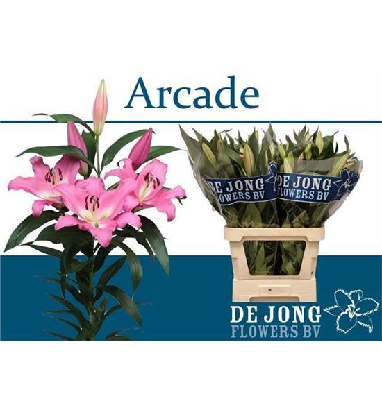 Lilium oriental hol arcade 85 - LOHARC