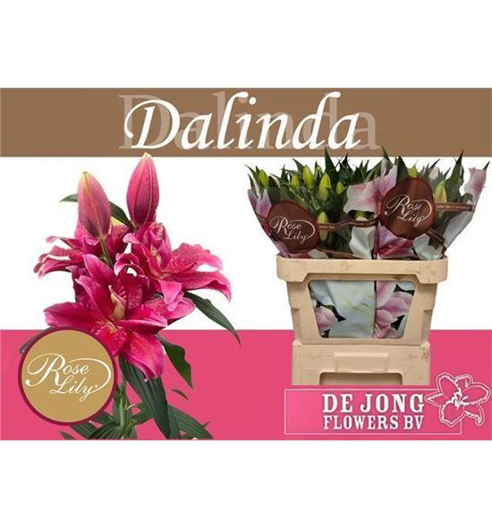 Lilium oriental hol dalinda 85 - LOHDALI
