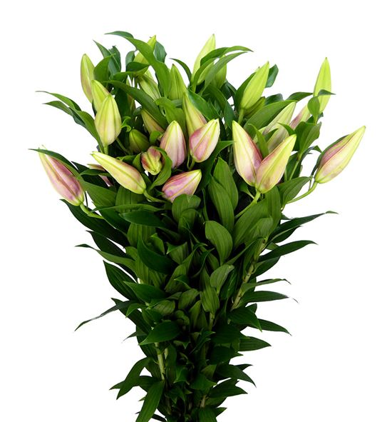 Lilium oriental hol ov blanco 85 - LOHOVBLA