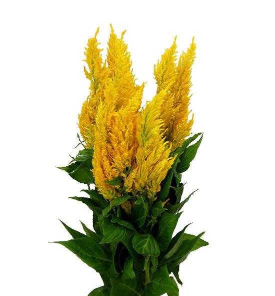 Celosia plumosa century amarilla 60 - CELPLUCENAMA