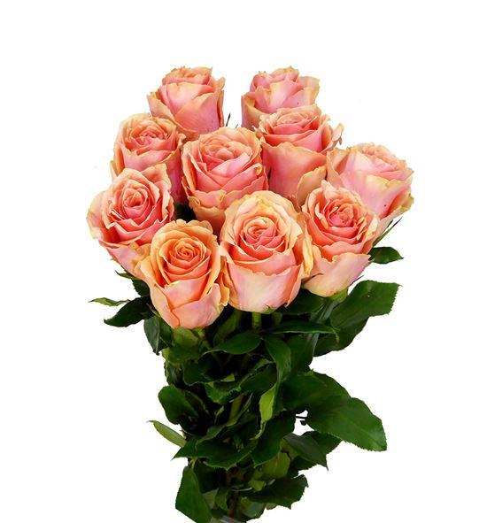 Rosa hol verona 60 - RGRVER