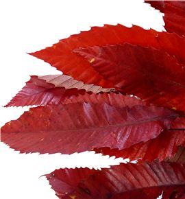 Hoja beuk preservado rojo - HOJBEUPREROJ