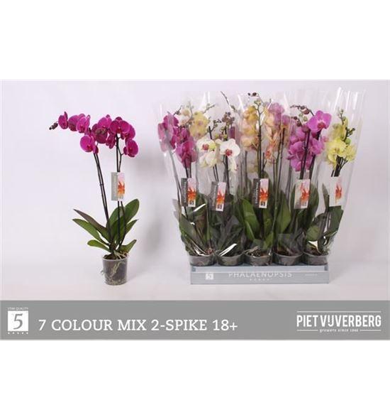 Pl. phalaenopsis mixta 7kl 2t 65cm x10 - PHAMIX71012652