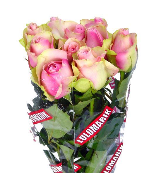 Rosa hol. belle rose 35 - RGRBELROS