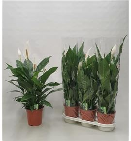 Pl. spathiphyllum bingo cupido 85cm x3 - SPABINCUP