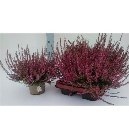 Pl. calluna marlies 26cm x6 - CALMAR61226