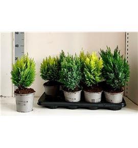 Pl. coniferen mixto 35cm x8 - CONMIC81335