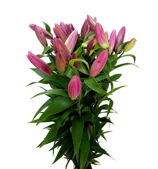 Lilium oriental hol maldano 100 - LOHMAL