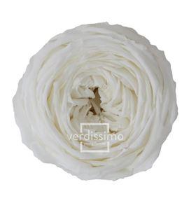 Rosa amorosa preservada mini garden prg/2000 - PRG2000