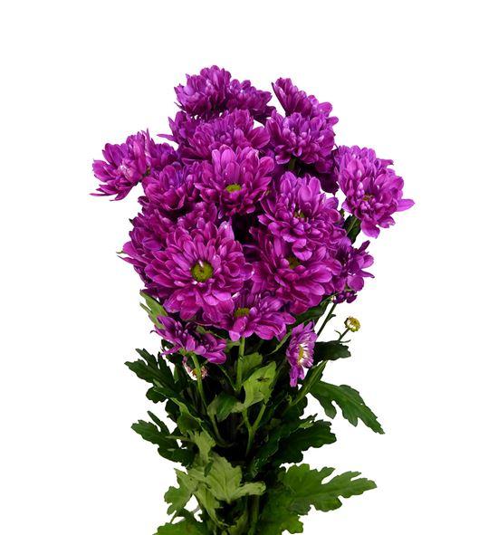 Marg hol prada purple - MHPRAPUR
