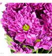 Marg hol prada purple - MHPRAPUR1