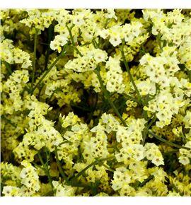 Limonium china summer 50 - LIMEASDIA