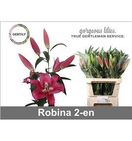 Lilium oriental hol robina 95 - LOHROB