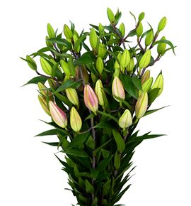 Lilium oriental hol tarrango 90 - LOHTAR