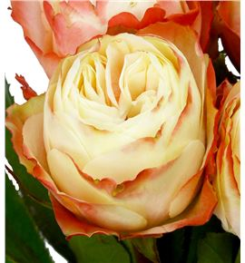 Rosa hol. karma 60 - RGRKAR