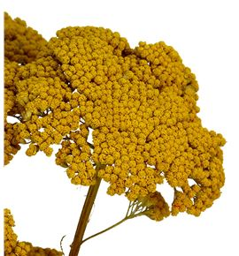 Achilea seca amarilla - ACHSECNAT