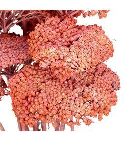 Achilea seca rosa - ACHSECROS