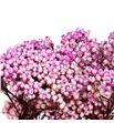 Flor arroz preservado rosa - FLOARRPREROS1