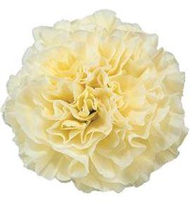 Clavel fancy cream polimnia - POLIMNIA