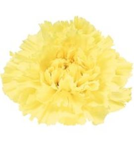 Clavel fancy yellow hermes - HERMES