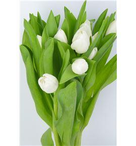 Tulipan royal virgin 35 - TULROYVIR