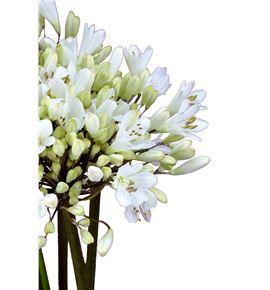Agapanthus white heaven 60 - AGASPA