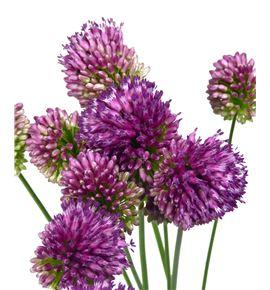 Allium sphaeroc 75 - ALLSPH