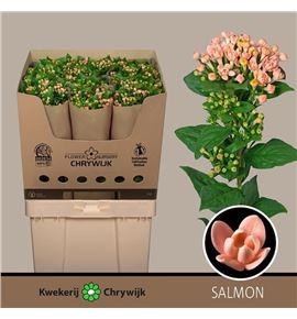 Bouvardia diamond salmon 70 - BOUDIASAL