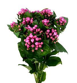 Bouvardia pink charm 70 - BOUDIAPINCHA