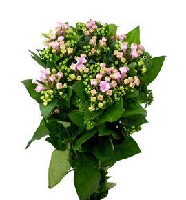 Bouvardia rosa pink 70 - BOUROSPIN