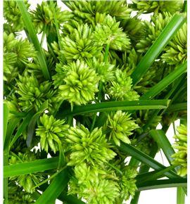 Cyperus alternifolius 50 - CYPGLA