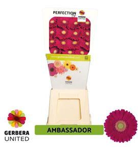 Gerbera ambassador 50 x15 - GERAMB5015