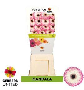 Gerbera mandala 50 x15 - GERMAN5015