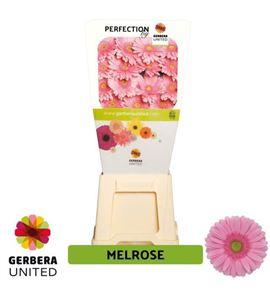 Gerbera melrose 50 x15 - GERMEL5015