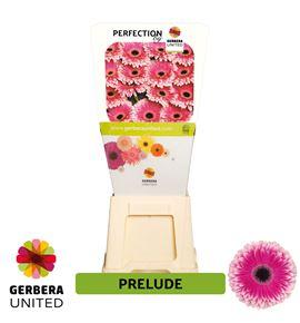 Gerbera prelude 50 x15 - GERPRE5015