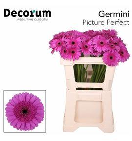 Gerb mini picture perfect 50 - GERMPICPER