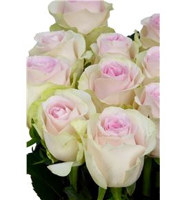 Rosa hol revival sweet 50 - RGRREVSWE