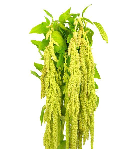 Amaranthus green pearls 80 - AMAGREPEA