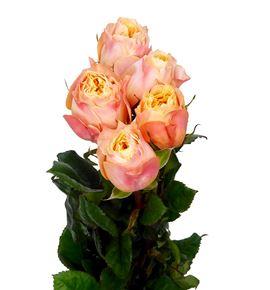 Rosa hol imagine 60 - RGRIMA