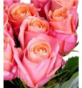 Rosa hol lady margaret 70 - RGRLADMAR
