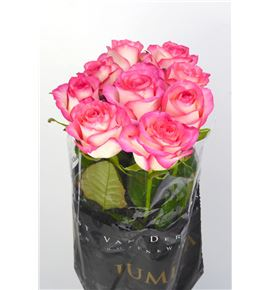 Rosa hol jumilia 60 - RGRJUM